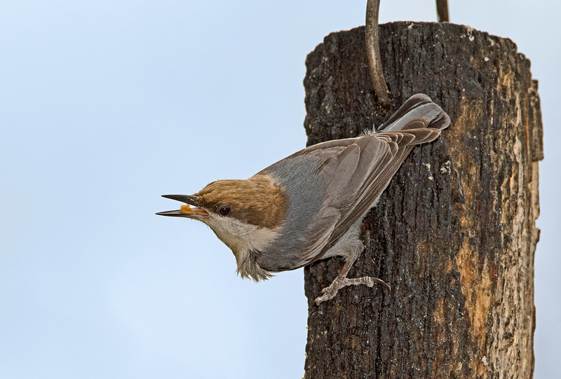 Brown-headed Nuthatch eating peanut butter