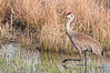 Sandhill Crane, Sandy Ridge Reservation, 4/2/2010.