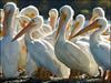 White Pelicans  800x600