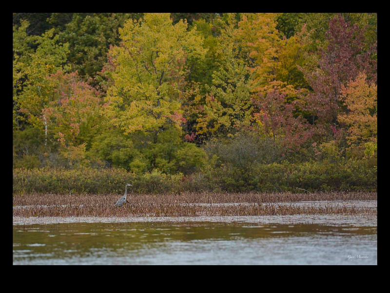 A Great Blue Heron almost disappears in the fall colours of Muskoka.