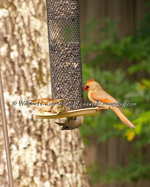 Northern Cardinal - Female (on right)<br /> House Wrens - Female (on left)
