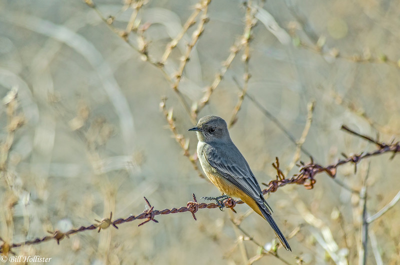 Say's Phoebe at Ellis Creek #9