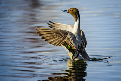 Pintail Duck 4274