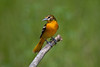 Baltimore Oriole - May 12, 2012