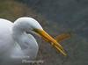 Great Egret Ardea alba with Kelp Fish