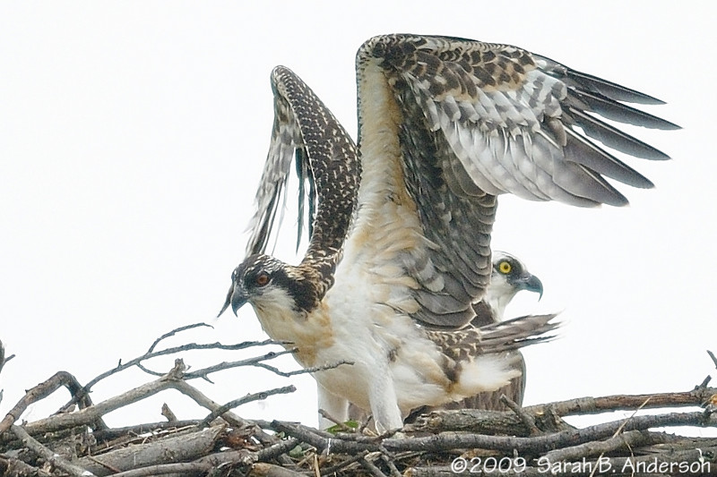 Getting ready to fly<br /> Young Osprey almost ready to leave the nest<br /> <br /> Occoquan National Wildlife Refuge<br /> Fairfax County, Virginia<br /> June 2009