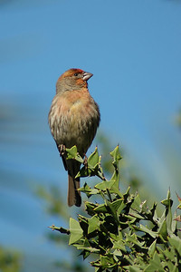 House finch (Huntington Gardens, Pasadena)