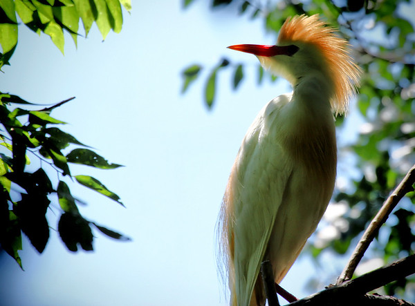 A cattle egret (Bubulcus ibis) standing in a tree displaying its mating plumage (2009_05_17_019354)