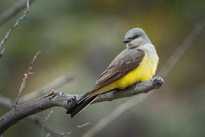 Western Kingbird 7567