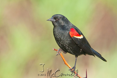 Redwinged Blackbird Portrait