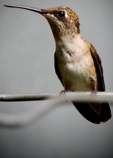 Close-up of a female ruby-throated hummingbird (Archilochus colubris) perched on a wire (20120710_01511)