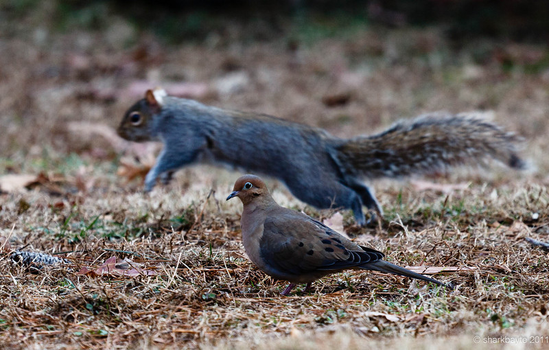 I was trying to capture the mourning dove and we were photo-bombed by a squirrel!