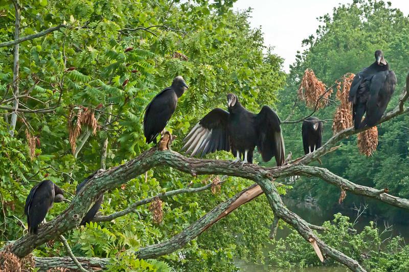 Black vultures, Seneca Aqueduct, 7-11-2012.