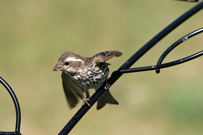 Purple Finch....female.  Have a blessed day!