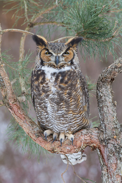 Great Horned Owl - February 2013