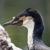 Cormorant at Wild Animal Park - 11 Apr 2010