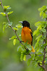 Baltimore Oriole - May 2014