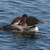 Common loon and chicks.