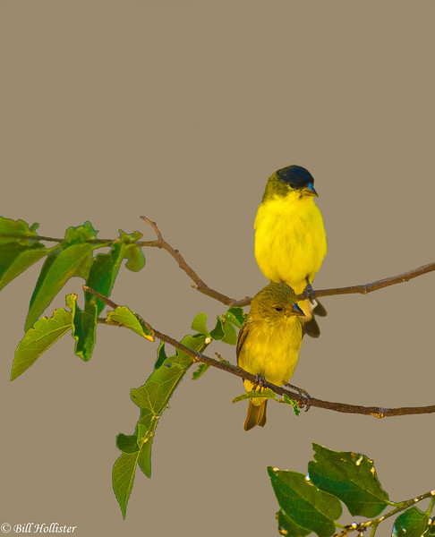 Lesser Goldfinch male and femal at San Pablo 6-09 #3-2