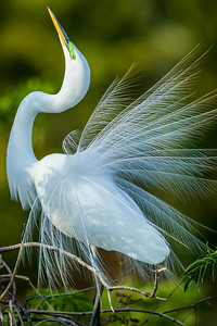Great Egret Vert. Green Background 2013