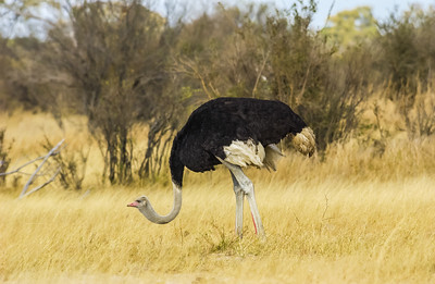 Ostrich Male Hunting