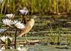 Squacco Heron, Moremi Game Reserve, Botswana