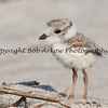Juvi Piping Plover  This photograph is protected by the U.S. Copyright Laws and shall not to be downloaded or reproduced by any means without the formal written permission of Bob Arkow Photography.