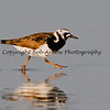 Ruddy Turnstone  This photograph is protected by the U.S. Copyright Laws and shall not to be downloaded or reproduced by any means without the formal written permission of Bob Arkow Photography.