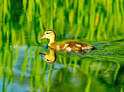 Baby Duck, on A Pond.