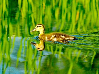Baby Duck Enjoying The Sun Shine