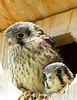 Baby Kestrels waiting for mom or dad to bring food.