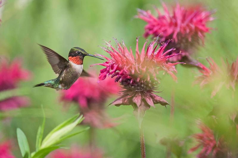Male ruby-throated hummingbird, Holden Arboretum,  7/10/2015