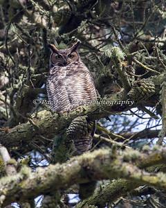 Great Horned Owl (Bubo virginianus) in Golden Gate Park