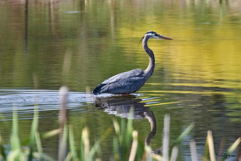 heron wading