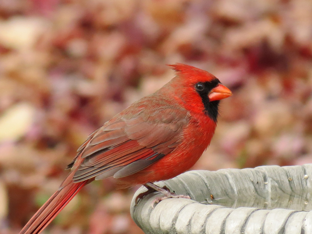 The Cardinals are permanent residents.