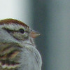 A protrait of a Chipping Sparrow. This one was sat on our deck railings.