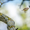 Hopping House Wren