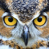 """I've Got My Eyes On You""  Great Horned Owl"