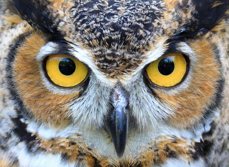"""I've Got My Eyes On You""  Great Horned Owl"