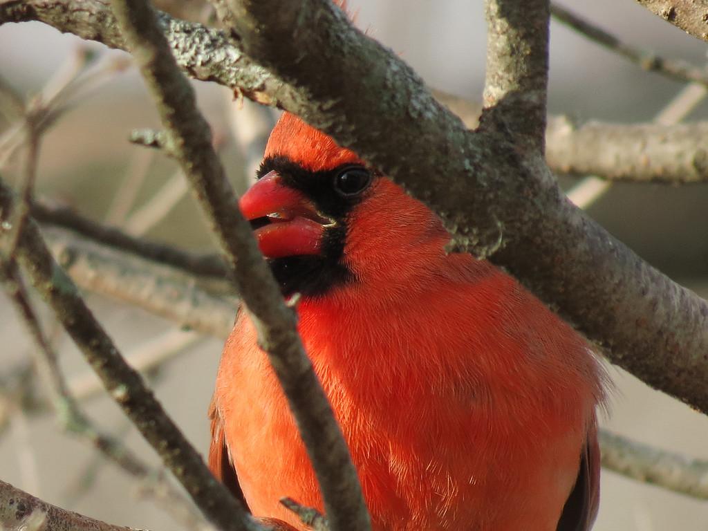 Cardinal on December 24, 2012.