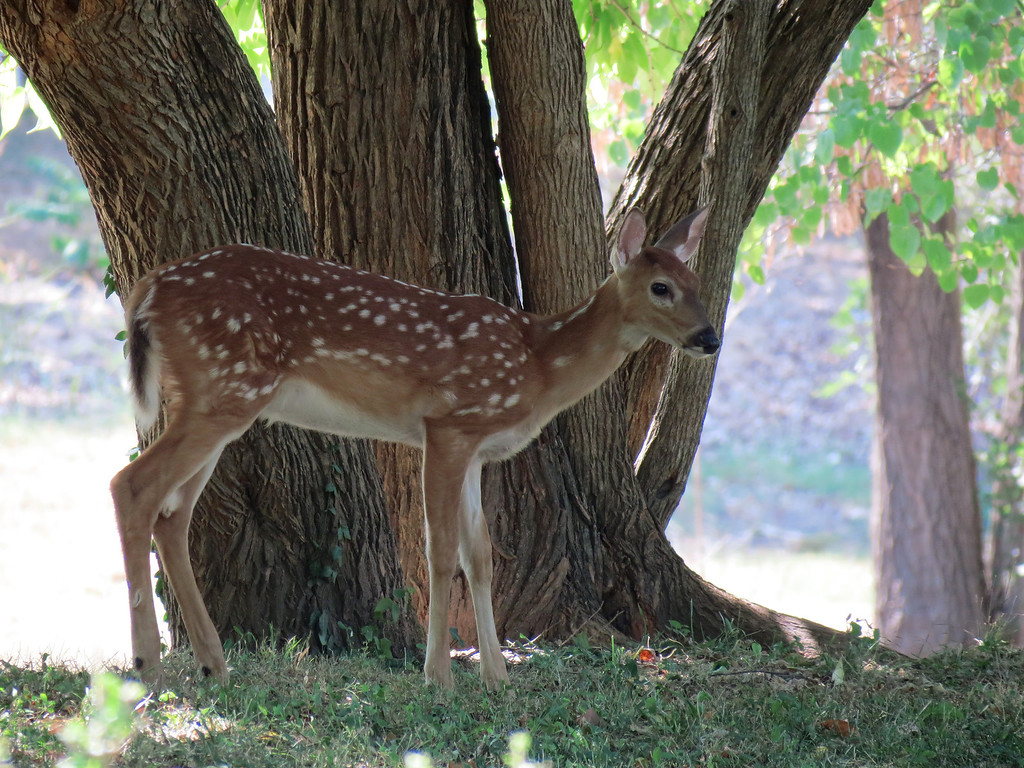 One of the twin fawns standing under the Osage Orange tree.<br /> The mother deer brought the twins by this afternoon<br /> and asked me if I would watch them while she browsed <br /> around a bit in the field - of course, I said that I would do it.<br /> The two promptly layed down in the shade and took a nap.<br /> The mother later came back and layed down with them until evening.<br /> <br /> We cut branches from this tree during the summer so that the deer could<br /> eat the leaves. At night, we could see them standing around the branches<br /> and eating the leaves. It was a very hard summer.