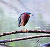 Green Heron<br /> (Butorides virescens)