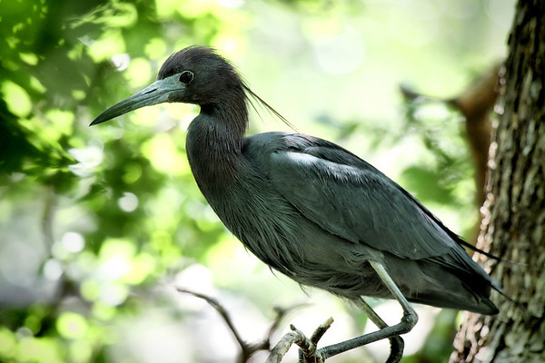 A little blue heron (Egretta caerulea) perched on a branch (2009_05_17_019428)