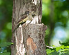 Great Crested Flycatcher with snakeskin for nesting material