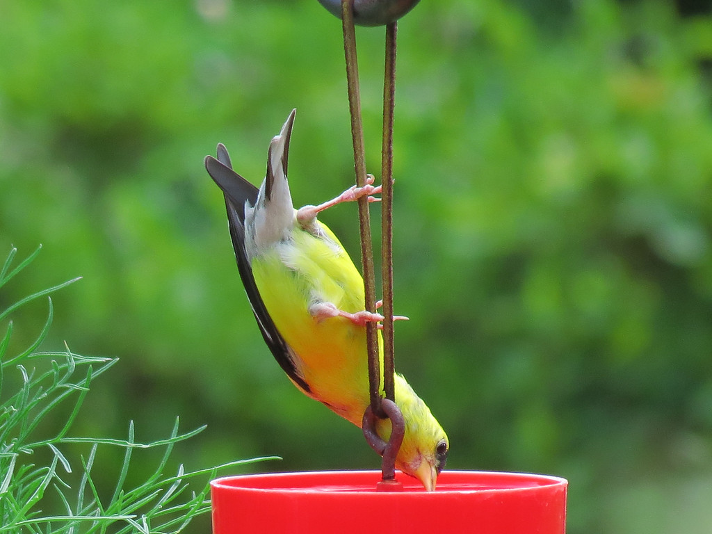 Yellow Finch drinking from the ant guard on one of the hummingbird feeders.