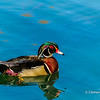 Wood Duck in High Park, Toronto, Ontario, Canada