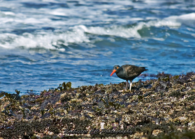 Black Oystercatcher in the tide pools on the Pacifac Coast.