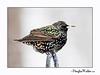 European Starling (Sturnus Vulgaris) Winter