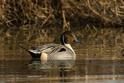 Breeding Male Northern Pintail