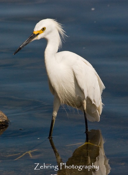 Snowy egret stalking the shore of Virginia Lake, Nevada.